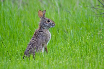 Cotton Tailed Rabbit