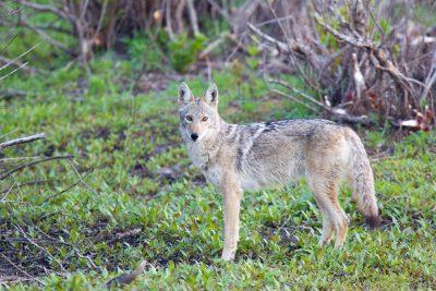 Coyote (American Jackal)