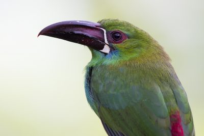 Crimson-rumped Toucanet (Profile) - Tandayapa Lodge, Ecuador