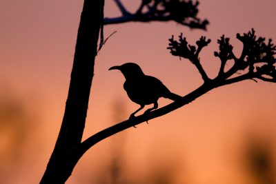 Curve-billed Thrasher (Silhouette)
