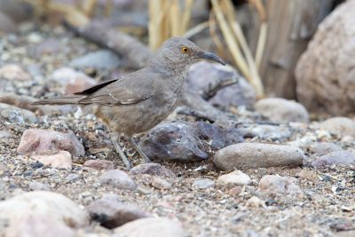 Curve-billed Thrasher1