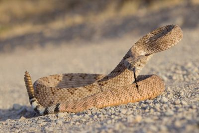 Diamond-backed Rattlesnake