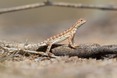 Elegant Earless Lizard