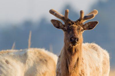 Elk (Male)