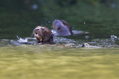 Giant Otter1