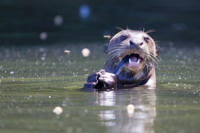 Giant Otter2