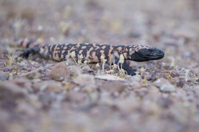 Gila Monster3