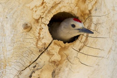 Gila Woodpecker (In Nest)