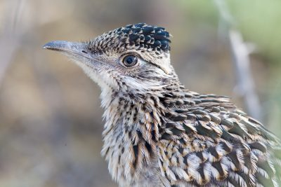 Great Roadrunner (Profile)