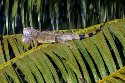 Green Iguana (Male)
