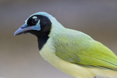 Green Jay (Profile)