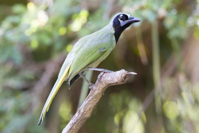 Green Jay - Sabel Palm Wildlife Area, Texas
