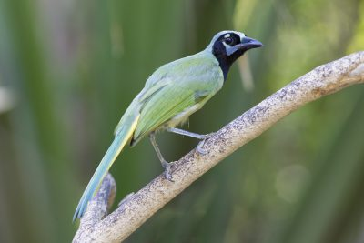 Green Jay - Sabel Palms