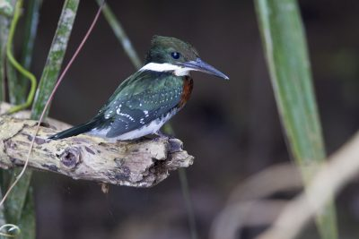 Green Kingfisher1