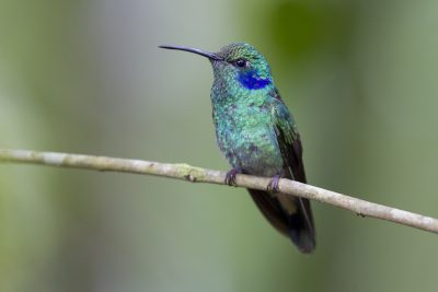 Green Violet-ear - Tandayapa Lodge, Ecuador.