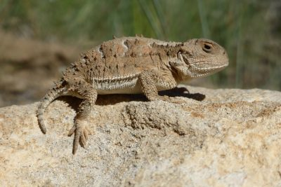 Horned Lizard, Bryce Canyon National Park, Utah