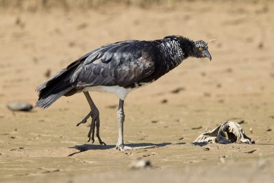 Horned Screamer2
