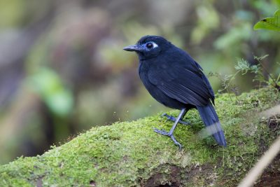 Immaculate Antbird - Tandayapa Lodge, Ecuador