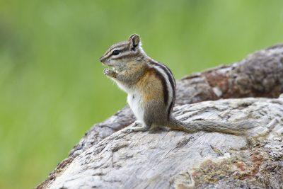 Least Chipmunk - Rocky Mountain National Park, Colorado