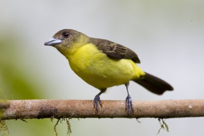 Lemon-rumped Tanager (Female) - Tandayapa Lodge, Ecuador