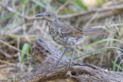 Long-billed Thrasher1