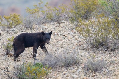 Mexican Black Bear