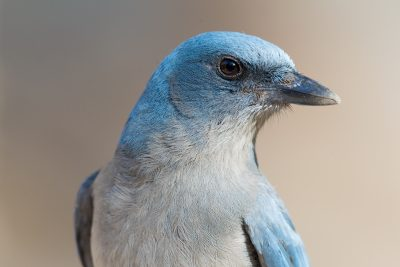 Mexican Jay (Profile)
