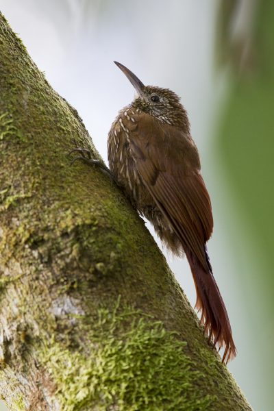 Montane Wood-creeper - Tandayapa Lodge, Ecuador