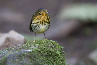 Ochre-breasted Antpitta - Tandayapa Lodge, Ecuador4