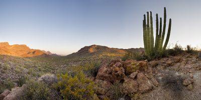 Organ Cactus - Organ Cactus National Monument, Arizona