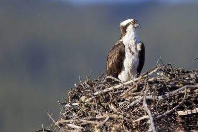 Osprey at Nest
