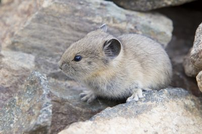Pika - Grand Teton National Park, Wyoming