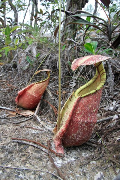 Pitcher Plants - Bako National Park