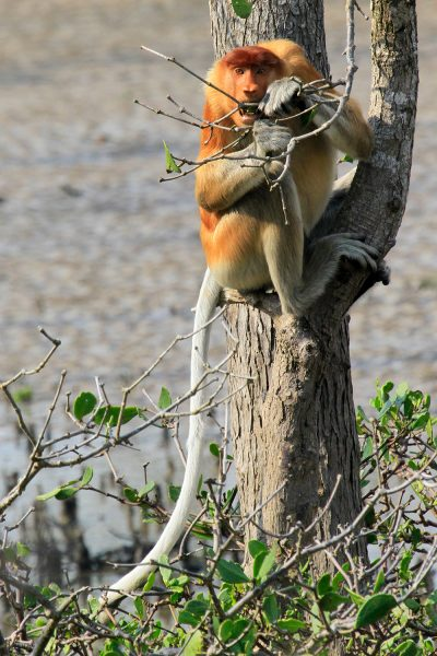 Proboscus Monkey - Bako National Park (Kuching)