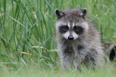 Racoon (Baby)