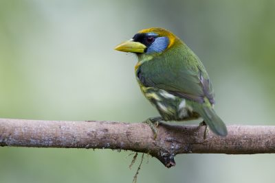 Red-headed Barbet (Female) - Tandayapa Lodge, Ecuador
