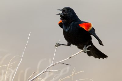 Red-winged Blackbird (Singing)