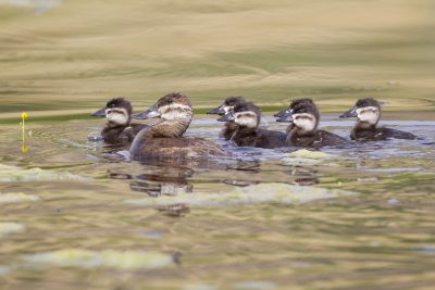 Ruddy Duck (Female with Babies) - Pearrygin State Park, Washington State