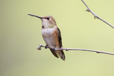 Rufous Hummingbird (Female on perch