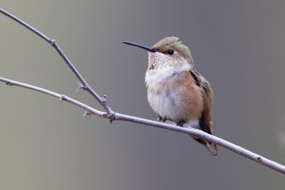 Rufous Hummingbird (Female)1