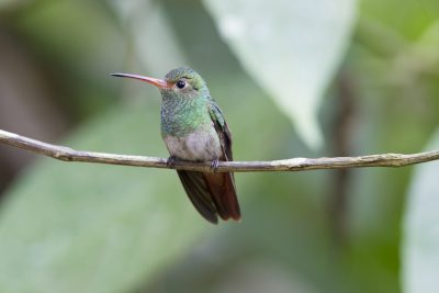Rufous-tailed Hummingbird (Female) - Tandayapa Lodge, Ecuador