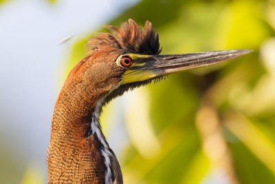 Rusdescient Tiger Heron (Profile)