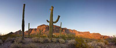 Saguaro Cactus - Organ Cactus National Monument, Arizona4178