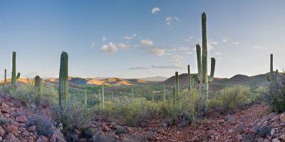 Saguaro Cactus Panoramic