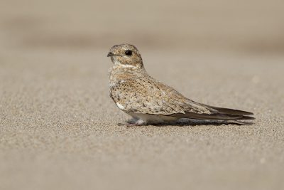 Sand-colored Nightjar1