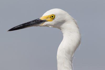 Snowy Egret (Profile)