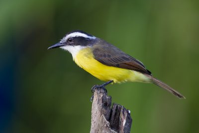 Social Flycatcher1