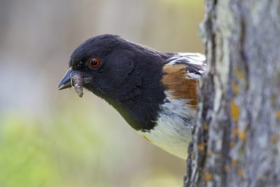 Spotted Towhee (Profile)