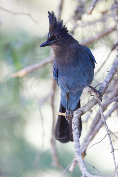 Stellars Jay (Portrait)- Mount Rainier National Park