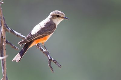Vermilian Flycatcher (Female)
